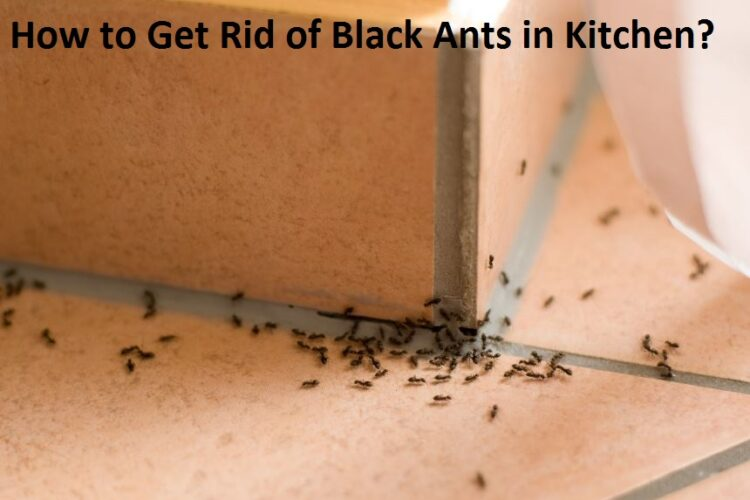 how-to-get-rid-of-black-ants-in-kitchen