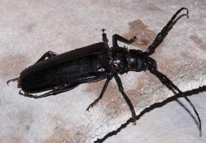 palo-verde-beetle
