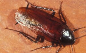 smoky-brown-roach