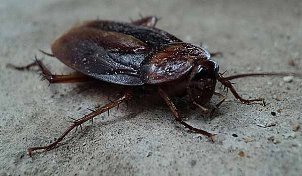 cockroach-without-head 2